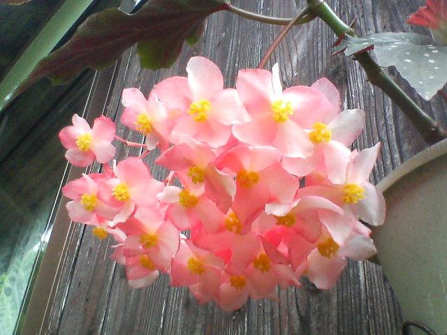 花のシャンデリア(椿姫)20080630