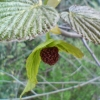 ハンカチの木20080420