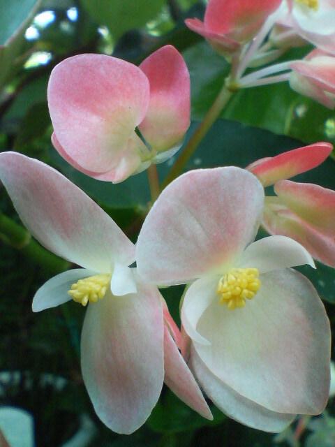 トキ(木立ベゴニア)20080608
