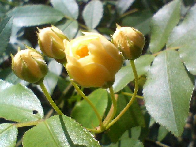モッコウバラ 20080503