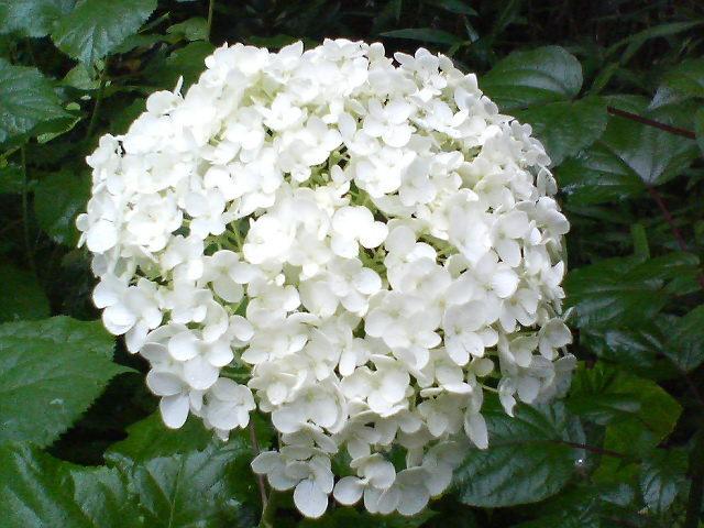 紫陽花20080619
