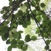 ハンカチの木 2006