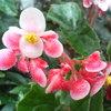 ジニー(木立ベゴニア)20080706