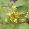 山椒の花 20080426