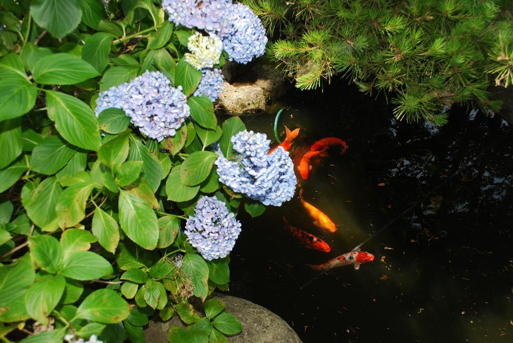 紫陽花と光と鯉