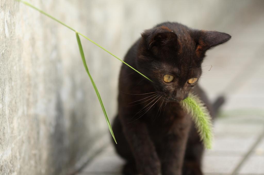 黒猫のカルメン。