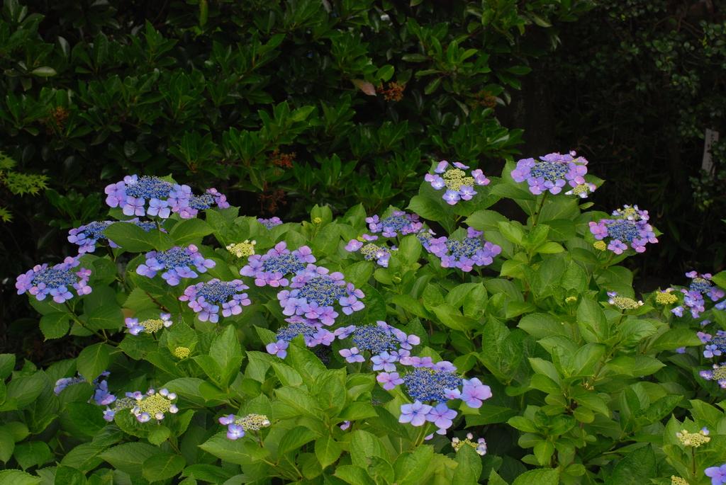 高幡不動の紫陽花(5)