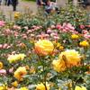 神代植物公園のバラ(2)