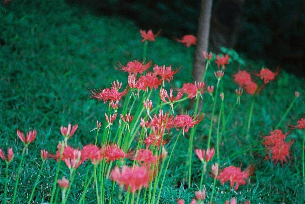 小石川後楽園の彼岸花(4)