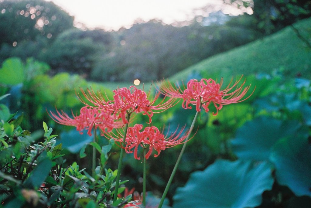 小石川後楽園の彼岸花(7)