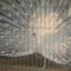 函館公園の白孔雀