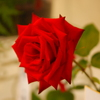 神代植物公園のバラ(3)