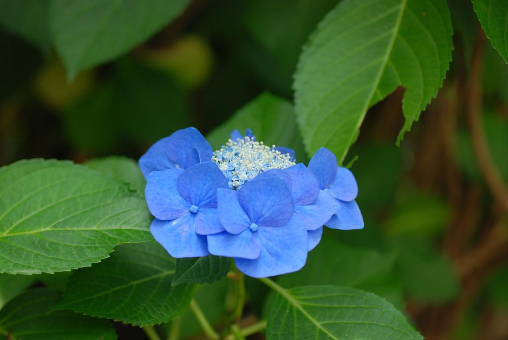 高幡不動の紫陽花(3)