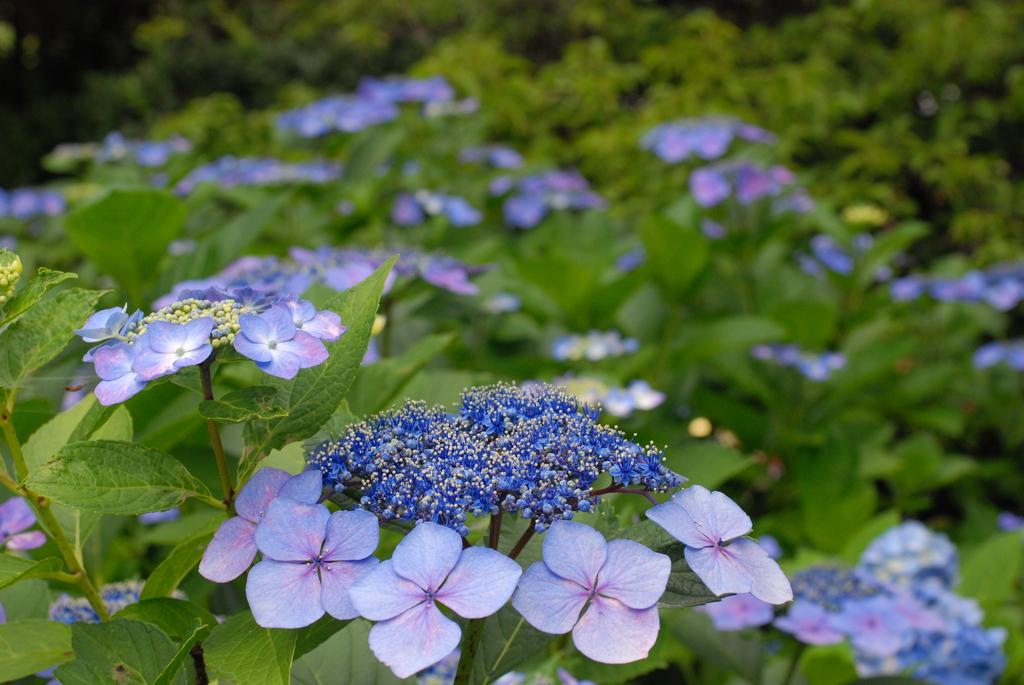 高幡不動の紫陽花(4)