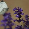 ラベンダーと蝶(2)