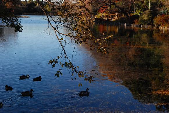善福寺公園の紅葉2