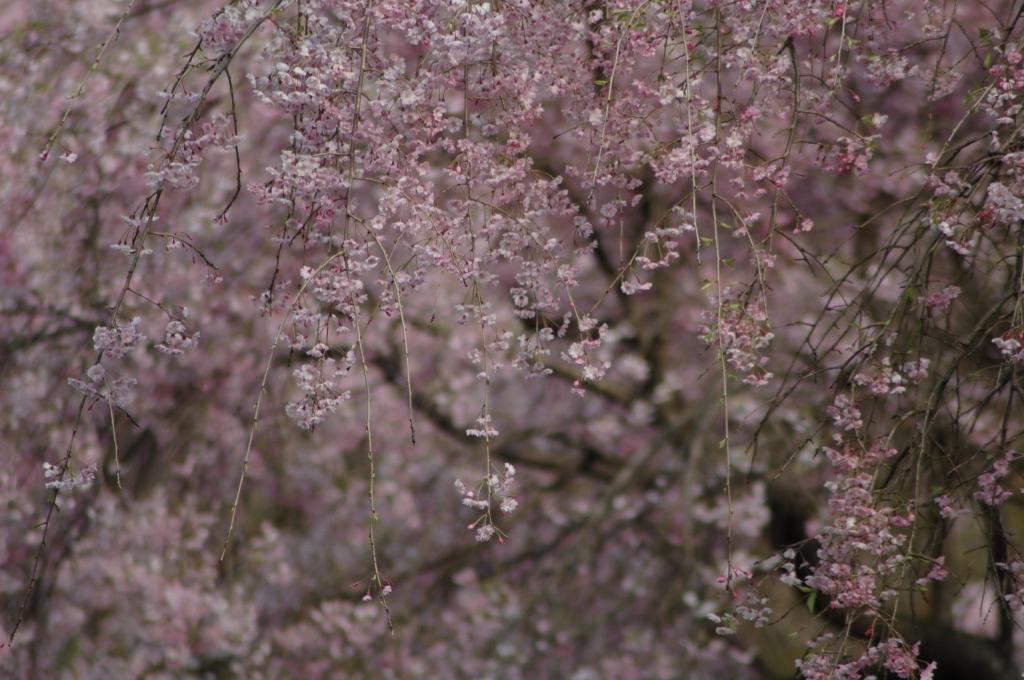 桜、八重枝垂れ桜