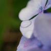 紫陽花〔雨上がりの朝)