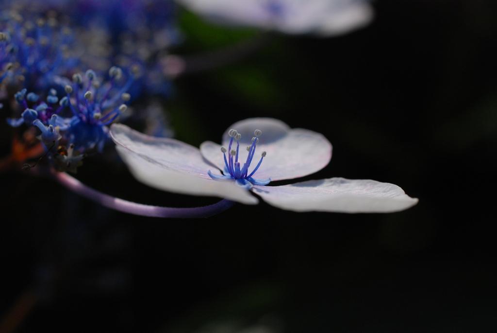 紫陽花(がくあじさいの装飾花)
