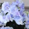 紫陽花(十二単)