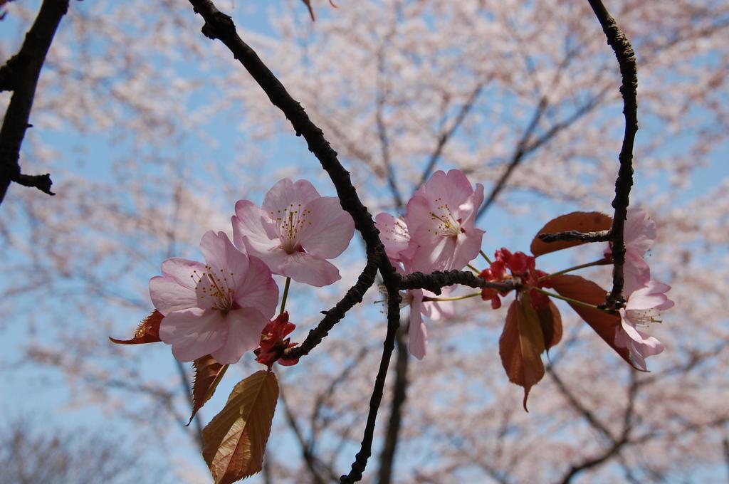 蝦夷山桜(2)