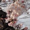 中ノ池の桜