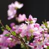 鉢植桜 Ⅱ
