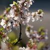 自宅で咲いてた桜
