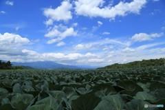嬬恋のキャベツ畑