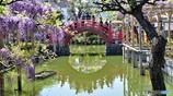 太鼓橋と藤の花