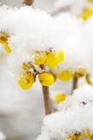 雪のろうばい