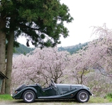 クラシックカーと桜