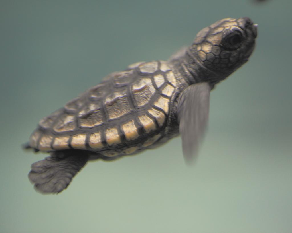 アカウミガメの画像 p1_9
