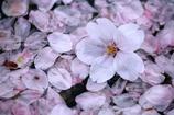水溜りに咲いた桜