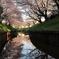 水面に映す千本桜