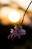 春咲き始め