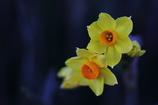 花便り - 早咲き水仙を求めて -