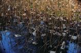 花便り - 初冬の蓮池 -