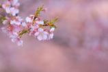 花便り - 河津爛漫 -