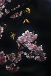 花便り - 大寒桜の輝き -