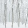 雪煙る美人林