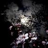 桜 闇と光