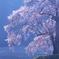 上発知の枝垂れ桜