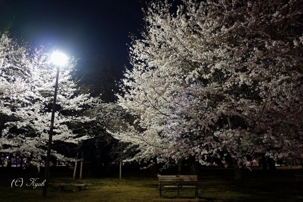 夜の桜とベンチ 目をつぶれば人々の声が聞こえてきそうです。 昼間の喧騒が嘘のようです。...