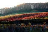 ぶどう畑の風景~富良野にて