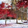 NIKON NIKON D90で撮影した風景(雪上の紅葉と白樺)の写真(画像)