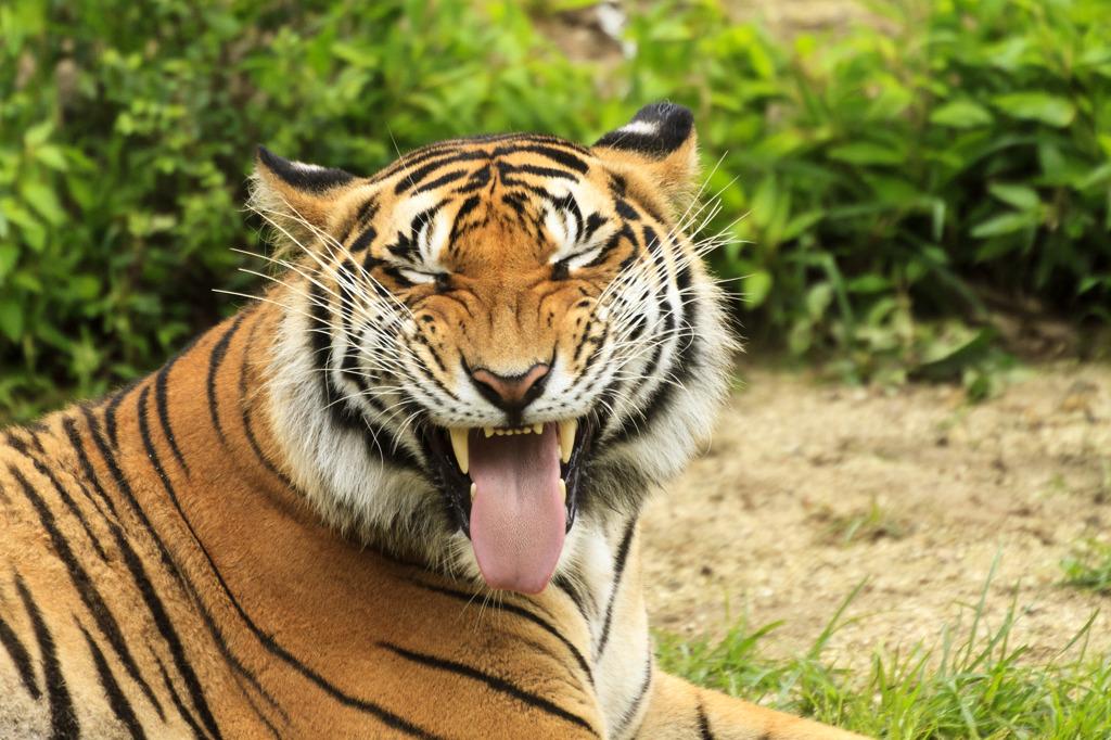 あっかんべー! トラ そんな顔。   写真共有サイト