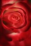 魅惑の秋薔薇