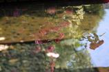 水面の薔薇