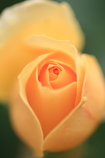 やさしき薔薇